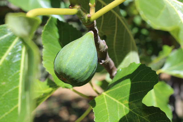 fruto higuera