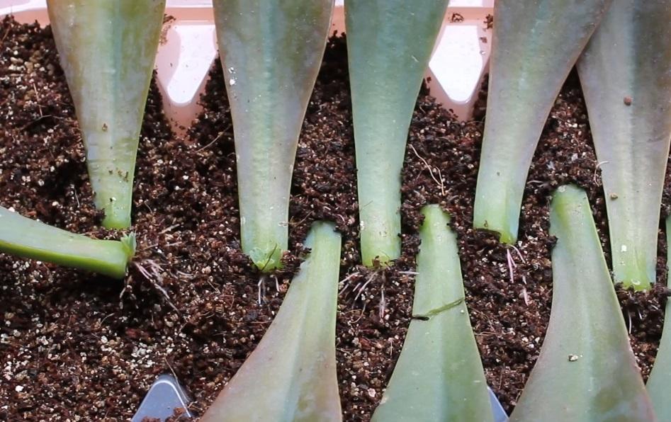 enraizando hojas de suculentas