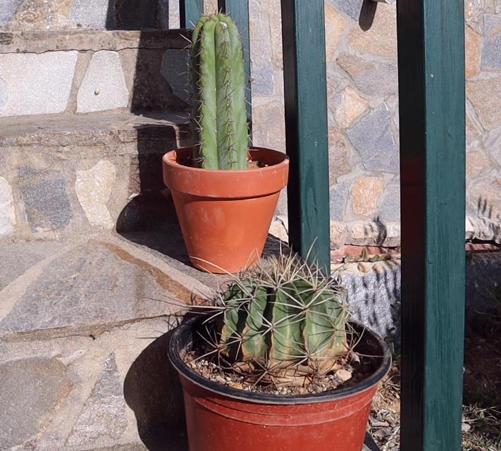 Cactus San Pedro y Ferocactus al sol
