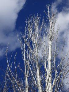 Populus alba sin hojas