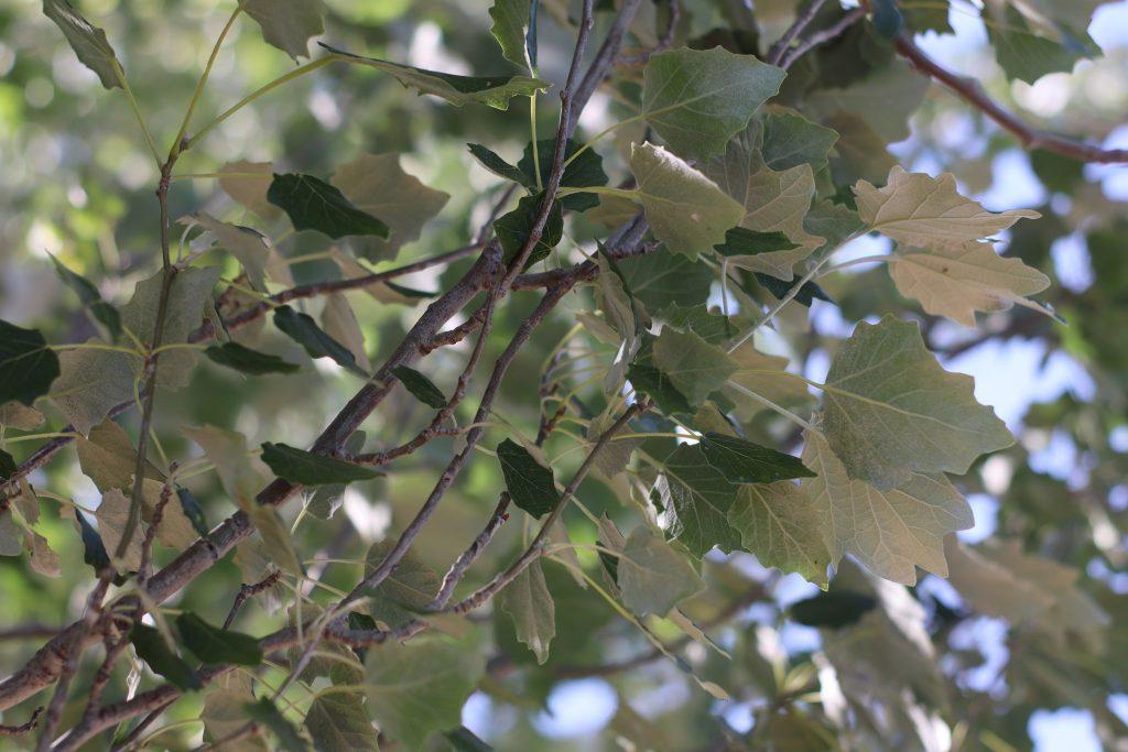 hojas del álamo blanco