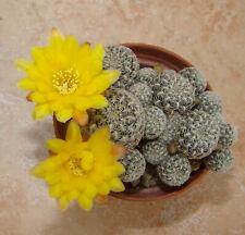 Sulcorebutia langeri en flor
